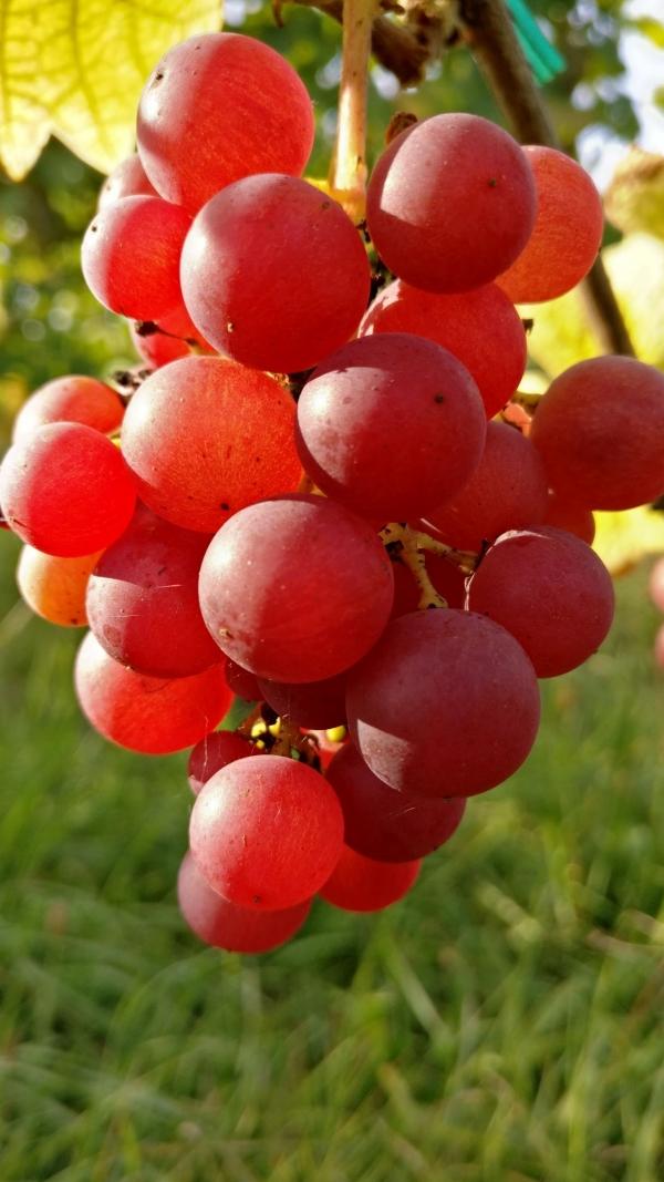 Vendanges-Crémant-Gloeckler-Brenner-vigneron-alsace-2019-grappe-baies