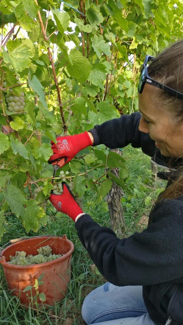 Vendanges-Crémant-Gloeckler-Brenner-vigneron-alsace-2019-manuelles-main-vendangeur-team