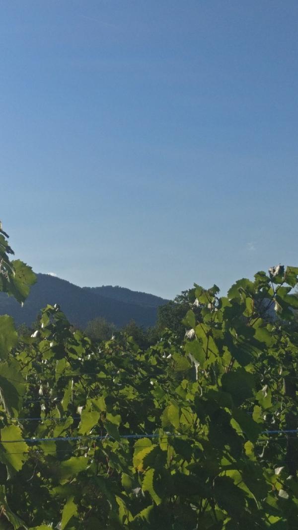 Vendanges-Crémant-Gloeckler-Brenner-vigneron-alsace-2019-rang-paysage