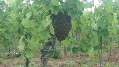 essaim-abeille-nature-vignes-gloeckler-brenner-alsace
