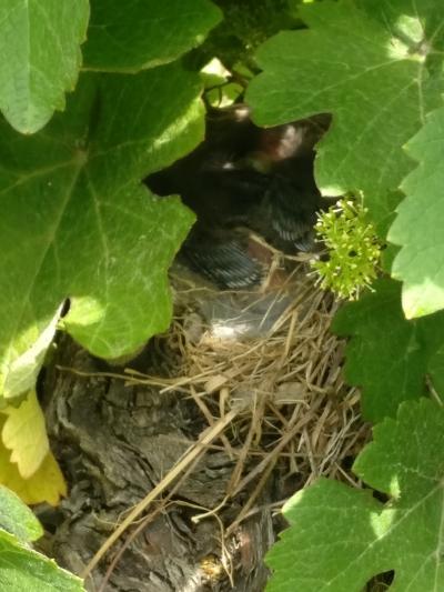 nid-oiseaux-nature-alsace-gloeckler-brenner-vigneron