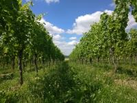 taille-en vert-vigne-printemps-domaine-gloeckler-brenner