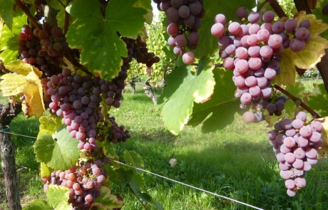 grappe-raisin-alsace-gloeckler-brenner-vigneron
