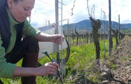 jeune-vigne-vigneron-alsace-gloeckler-brenner