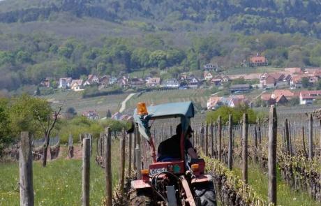 travail-des-vignes-gloeckler-brenner-alsace-vigneron