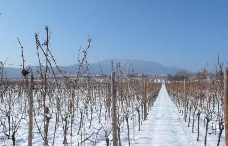 vignes-hiver-neige-gloeckler-brenner-alsace