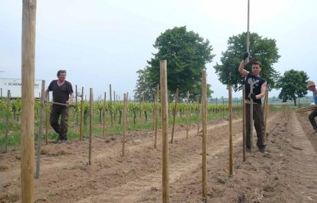 vignes-nouvelles-alsace-gloeckler-brenner-vignerons