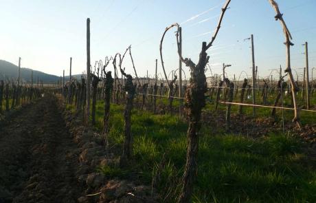 vignes-printemps-alsace-gloeckler-brenner-vigneron