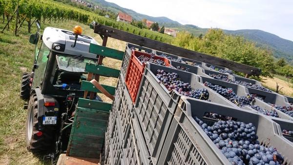 Vendanges-Crémant-Gloeckler-Brenner-vigneron-alsace-2019-caissettes-qualité-chargement-manuelles