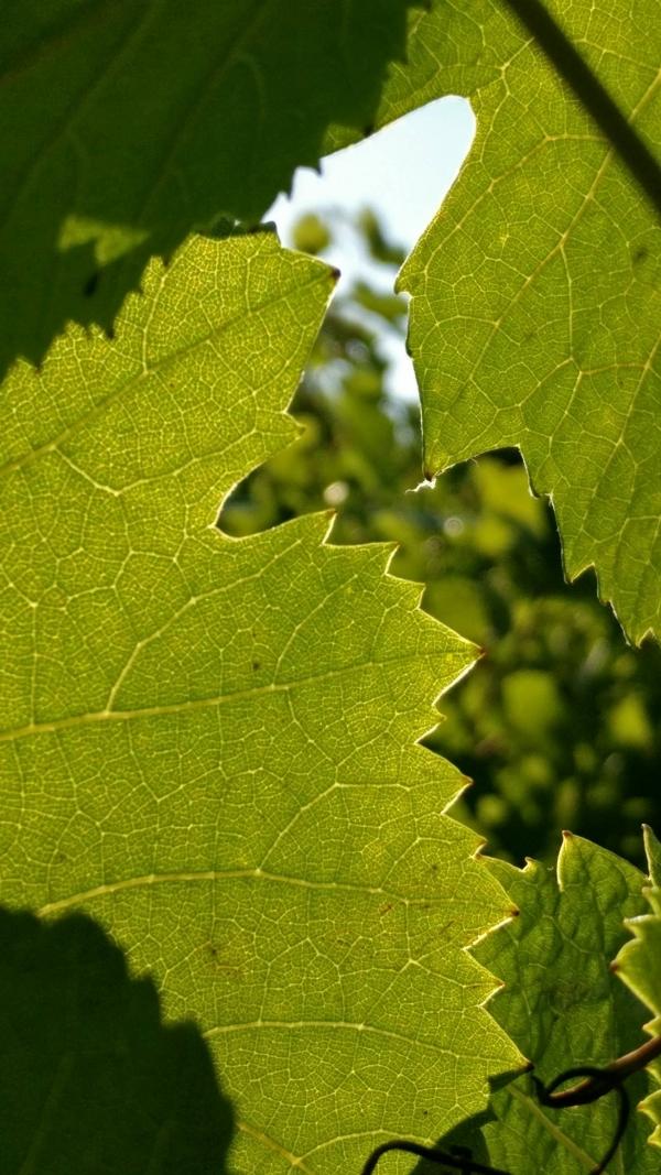 Vendanges-Crémant-Gloeckler-Brenner-vigneron-alsace-2019-charles-de-gaulle-nez-feuille