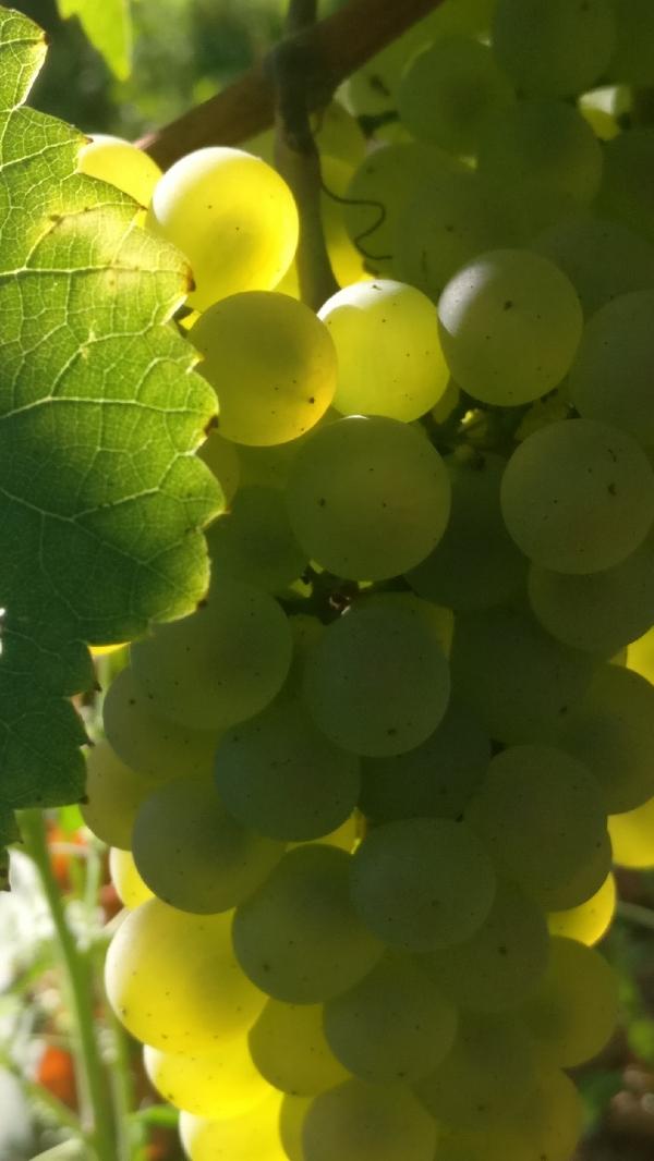 Vendanges-Crémant-Gloeckler-Brenner-vigneron-alsace-2019-zoom-grappe-blanc-baies